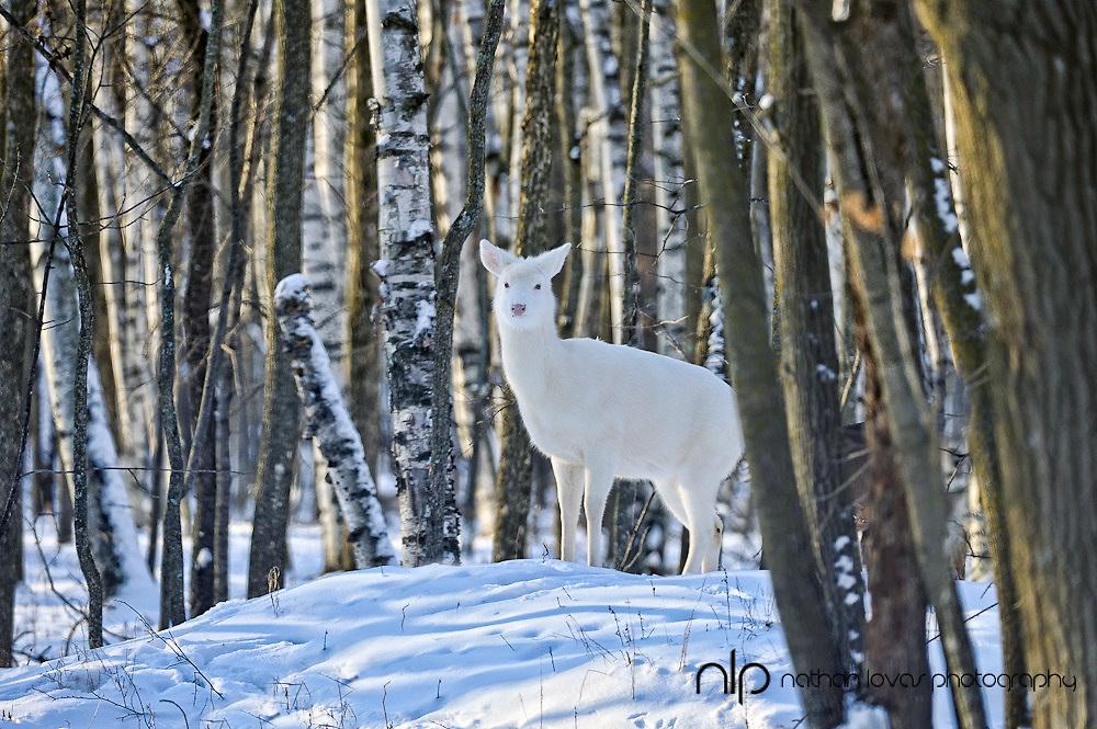 White-tailed Deer, Odocoileus virginianus, white deer, white morph, luecistic, taken in Isle, MN, wild