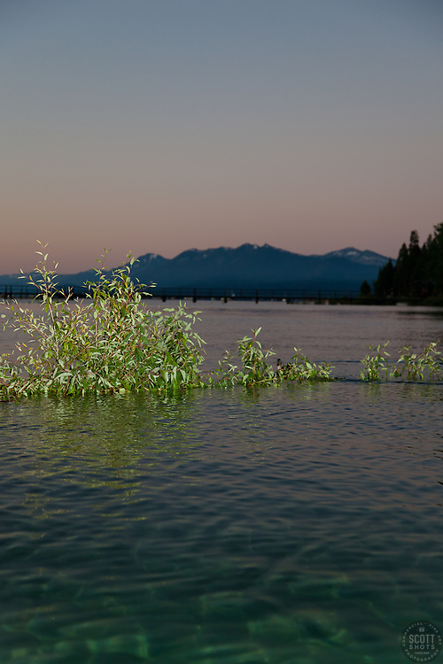 """Sunrise at Lake Tahoe 11"" - These half submerged plants were photographed at sunrise near Commons Beach in Tahoe City, Lake Tahoe."