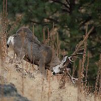 trophy mule deer buck rubbing antlers on grass and rock hillside