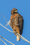 Red-tailed hawk adult, dark plumage  and deep orange breast coloration, perched, © 2012 David A. Ponton