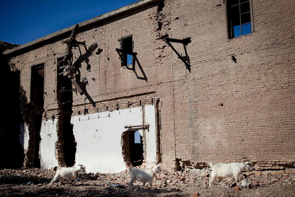 Goats walk by devastated fish processing factory in Moynak, Uzbekistan.