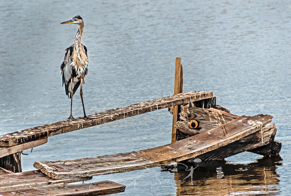 A great blue heron perches on a broken pier, Aug. 29, 2014, in Bayou La Batre, Alabama.  (Photo by Carmen K. Sisson/Cloudybright)
