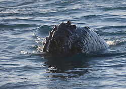 A whale pokes its snout out of the water on the Kimberley cost,   Each knobbly tubercule contains a single hair.  The purpose of this is unclear.  Western Australia has the world's largest population of Humpback whales, now estimated at 22,000.