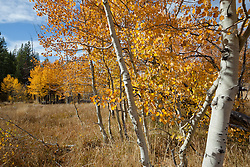 """Aspen in Tahoe 1"" - These yellow aspens were photographed in the fall at the shack near Brockway Summit in Tahoe."