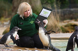 © Licensed to London News Pictures. 03/01/2013 London, UK. Keeper Zuzana Matyasova counts the Penguins at the annual stocktake of every animal at London Zoo, Regents Park, London. The compulsory count is required as part of the zoo's licence and every creature, great or small will be accounted for..Photo credit : Simon Jacobs/LNP