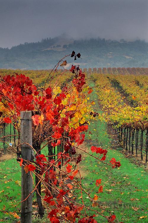 Vineyard in fall, Alexander Valley, near Asti, Sonoma County, CALIFORNIA
