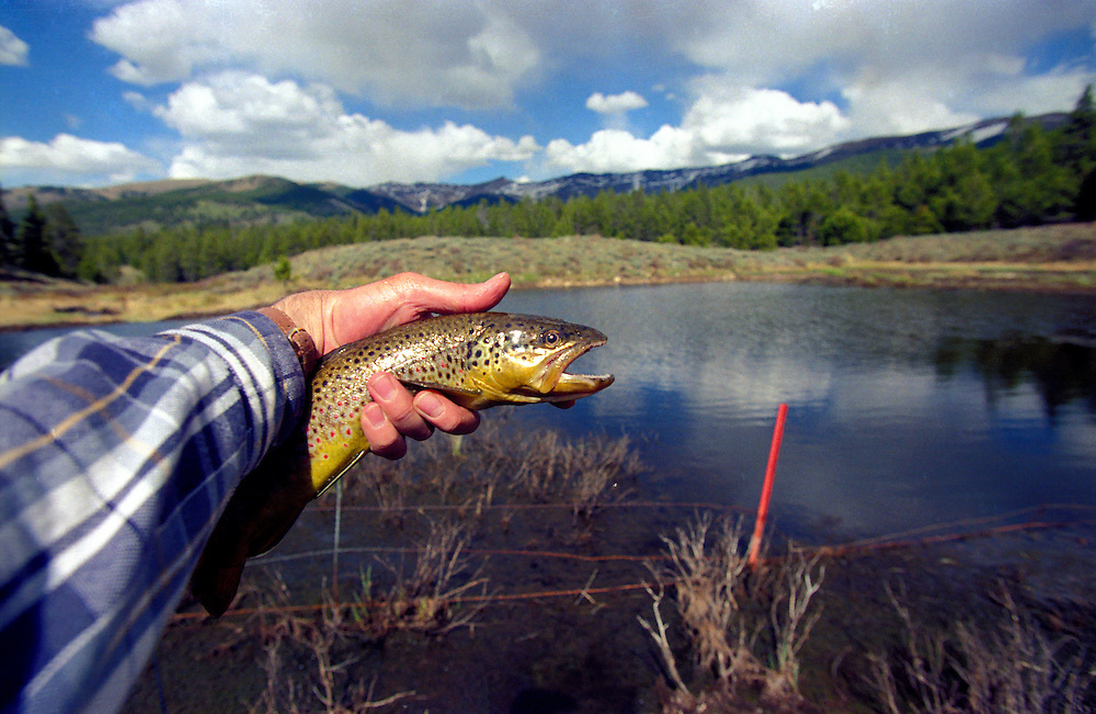 A fly fisherman holds a Brown Trout caught on a beaver pond before releasing it back to the wild in the Colorado Rocky Mountains