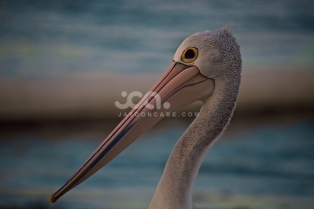 A pelican walks into frame. A photo by jaydon Cabe