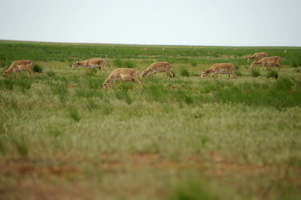 Mission: Saiga.Saiga herd (Saiga tatarica) in the steppe in Cherniye Zemly (Black Earth) Nature Reserve, Kalmykia, Russia, May 2009.Saiga tatarica