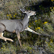 A doe Mule Deer running through rabbit brush near Horsetooth Reservoir, Larimer County, Colorado. Fall 2007.