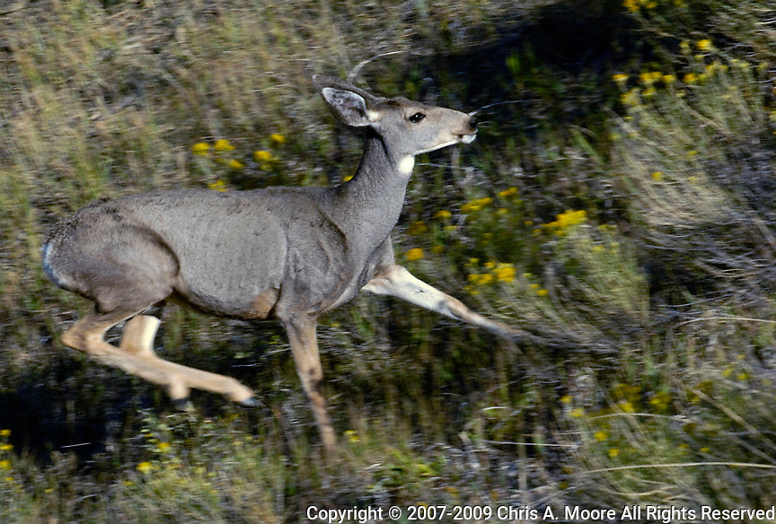 A doe Mule Deer running through rabbit brush near Horsetooth Reservoir, Larimer County, Colorado. Fall 2007.
