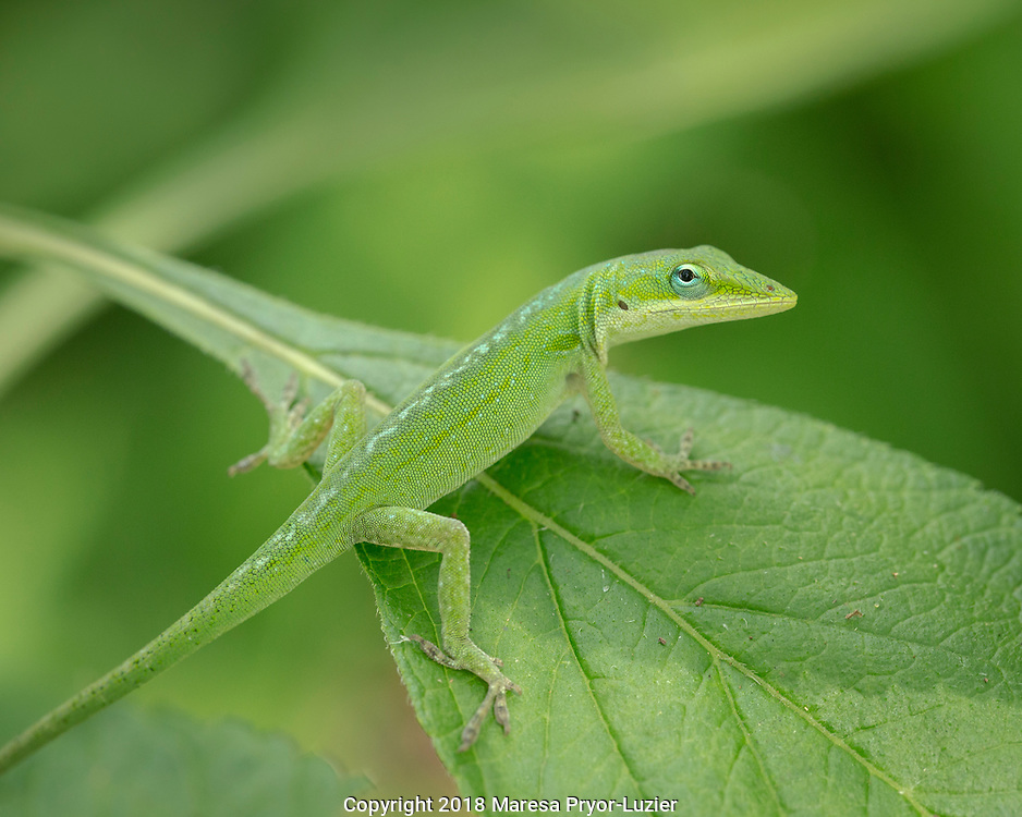 The Green Anole can change colors from brown to green depending on their background to camouflage themselves.  Anolis carolinensis, Florida backyard, wild