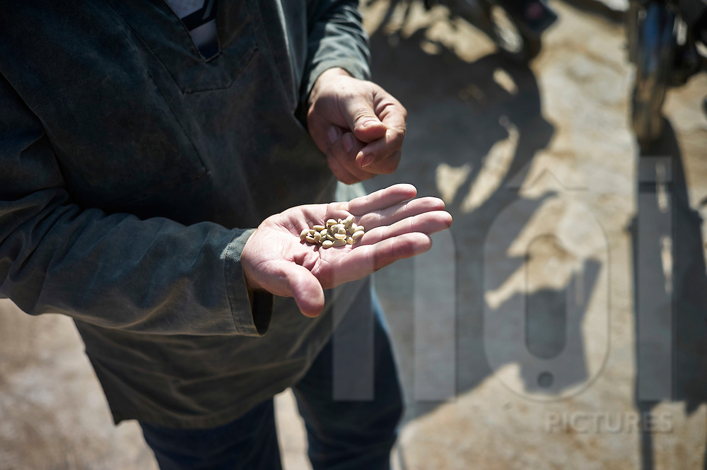 Pierre Morere showing the Bourbon Pointu coffee beans. Pierre Morere is the owner of Jangala, a socially oriented coffee business based in Bidoup Nui Ba National Park, Dalat, Lam Dong Province, Vietnam, Southeast Asia