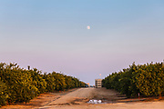 Orange grove located next to Belridge Oil Field. Kern County, San Joaquin Valley, California, USA