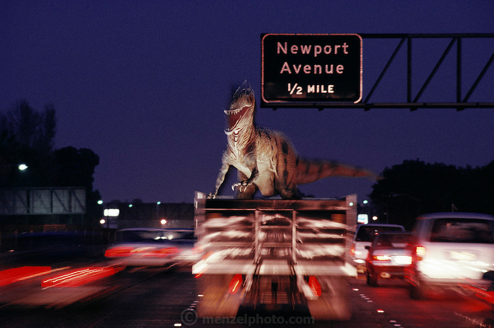 Snarling at the rush-hour traffic, this new animatronic; that is, lifelike and electronic replica of an Allosaurus is returning from the paint shop to the Dinamation factory in Orange County, California. Dinamation International, a California-based company, makes a collection of robotic dinosaurs. The dinosaurs are sent out in traveling displays to museums around the world. The dinosaur's robotic metal skeleton is covered by rigid fiberglass plates, over which is laid a flexible skin of urethane foam. The plates and skin are sculpted and painted to make the dinosaurs appear as realistic as possible. The creature's joints are operated by compressed air and the movements controlled by computer.