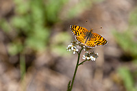 Phyciodes mylitta (Mylitta Crescent) ♂ at Siberia Creek, San Bernardino Co, CA, USA, on Yarrow 17-Jul-16