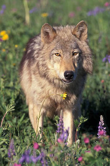 Gray Wolf, (Canis lupus) Adult in flowers. Rocky Montanans.  Captive Animal.