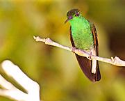 A Coppery Headed Emerald Hummingbird, elvira cupreiceps, Monteverde, Costa Rica
