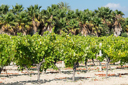 Vines in Sicilian vineyard. Sicilian wines are very popular.