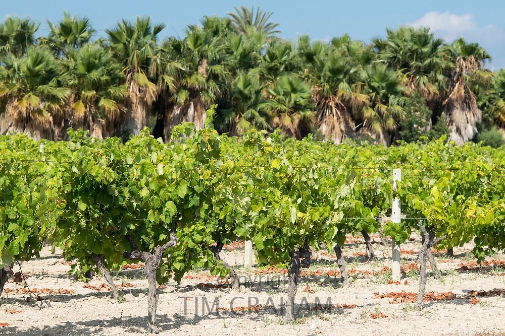 Vines in Sicilian vineyard. Sicilian wines are very popular.