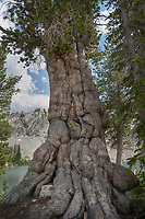 Gnarled old Whitebark Pine (Pinus albicaulis) Sawtooth Mountains Idaho