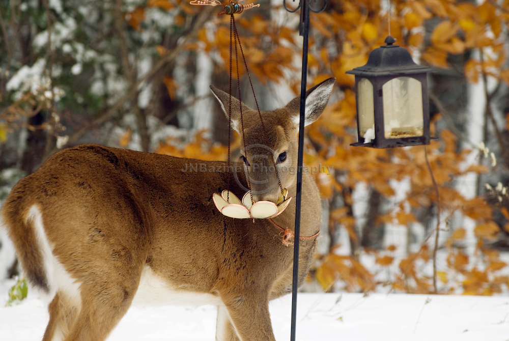A White-tailed deer in Gatineau, Qc eats from a bird feeder in a backyard.