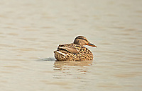 A female Mallard duck floats in a wetland marsh resting.