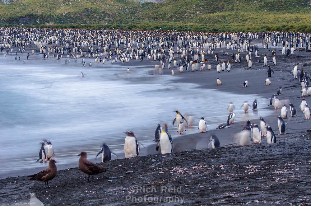 King penguin colony at Gold Harbor on South Georgia.