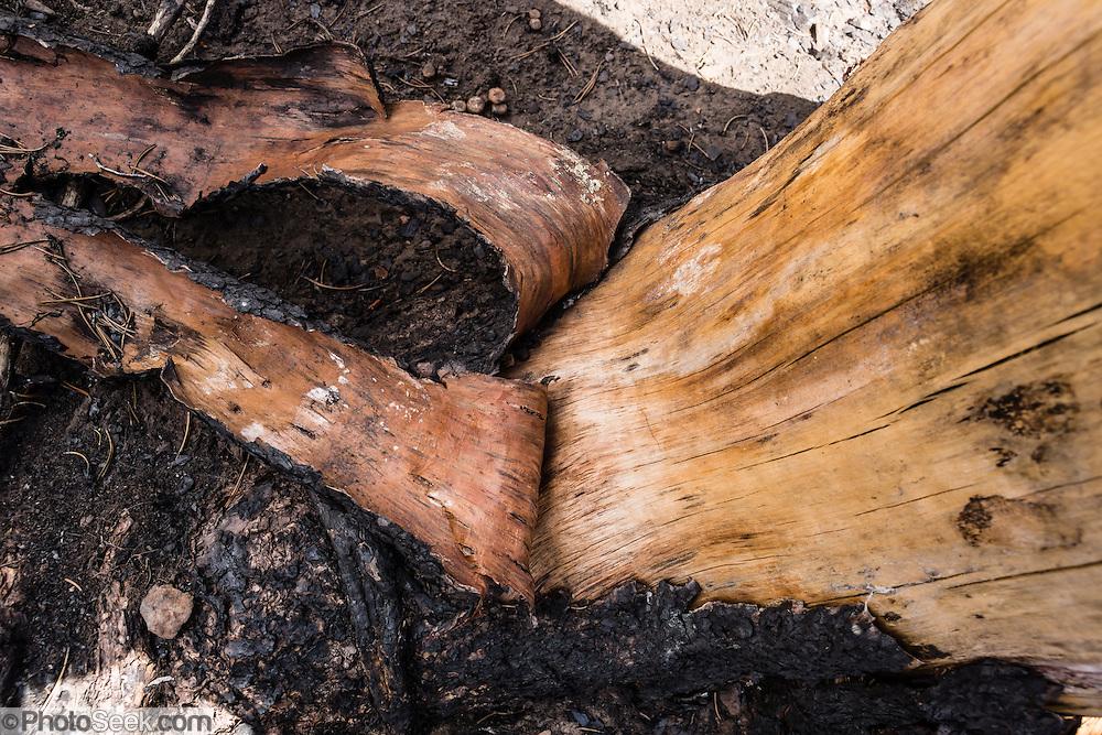 Burnt bark peaks from a pine tree along Table Mountain Trail #1209, Blewett Pass, Wenatchee National Forest, Washington, USA