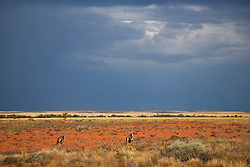 Red kangaroos  (Macropus rufus) sit on gibber plains against a dramatic stormy sky at sunset,  Sturt Stony Desert,  Australia