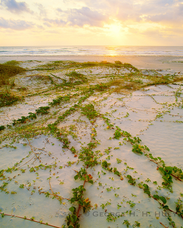 0505-1014 ~ Copyright: George H.H. Huey ~ Railroad vine [lpomoea pes-caprae var. emarginata], and Gulf of Mexico beach at sunrise.  Padre Island National Seashore, Texas.