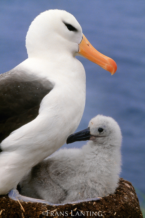 Black-browed albatross and chick, Thalassarche melanophrys, Falkland Islands