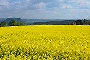 Rape field in early spring in Saxony, Germany. Rapeseed is mainly cultivated for biofuel production.