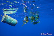 dorado, mahi-mahi, mahimahi, mahi mahi, or dolphin fish, Coryphaena hippurus, swimming near a floating plastic barrel, off Kaiwi Point, Kona, Hawaii Island ( the Big Island ), U.S.A. ( Central Pacific Ocean )