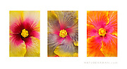 'Hibiscus Variety'<br /> <br /> Three (3) photo set.<br /> <br /> MATTE PRINTS:<br /> 5x7<br /> 8x12<br /> 11x14<br /> 12x18<br /> 16x24<br /> 20x30<br /> 24x36<br /> <br /> CANVAS GALLERY WRAPS:<br /> 8x12<br /> 12x18<br /> 16x24<br /> 20x30<br /> 24x36<br /> <br /> Aluminum Prints:<br /> Inquire<br /> <br /> Contact:  btabiolo@gmail.com