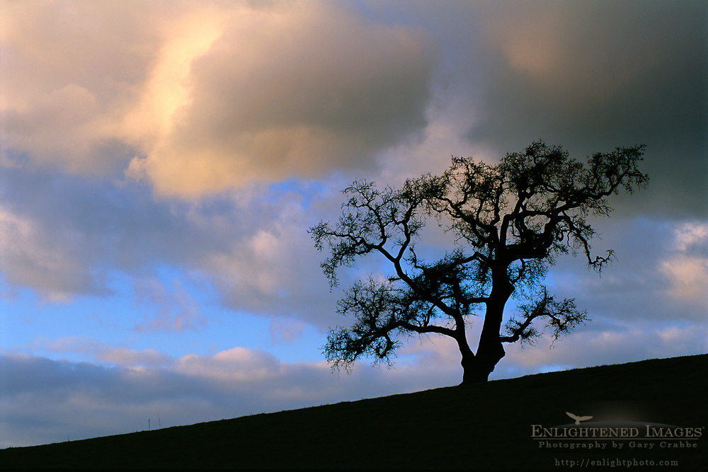 Late afternoon light on storm clouds over a lone Valley Oak in winter, Alhambra Valley, Contra Costa County, California