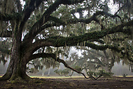 Live Oak Tree in Fontainebleau State Park