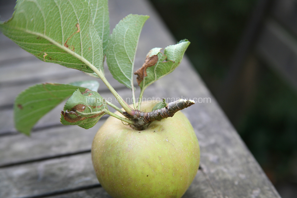 Freshly picked apple in an Irish garden table