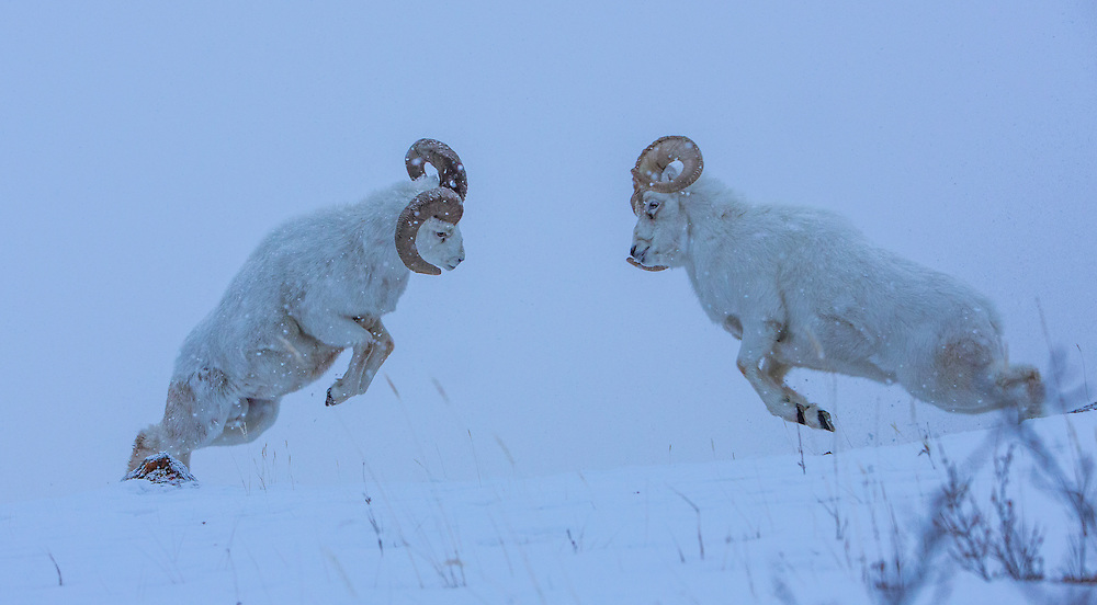 Dall Sheep Rams head butting on Kluane