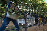 Walla Walla Vintners harvest, Walla Walla, Washington