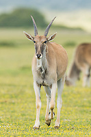 Young Eland bull, De Hoop Nature Reserve, Western Cape, South Africa