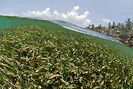 """Isla Grande is an exciting and popular place in Panama that people simply know as """"La Isla"""" (The Island). The island is inside the Portobelo National park, just 5 minutos by motor boat from the small town of La Guaira on the main land that makes its living out fishing and tourism.Pictured: Shallow bed of seagrass bed"""