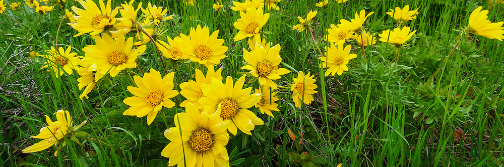 Fields of yellow balsomroom wildflowers mix with the fresh Spring greens to provide a spectacular nature panoramic view.