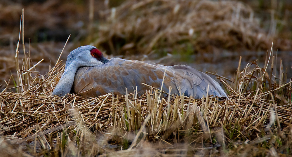 Sandhill Cranes sit on their nest with two eggs in Briggsville, WI.