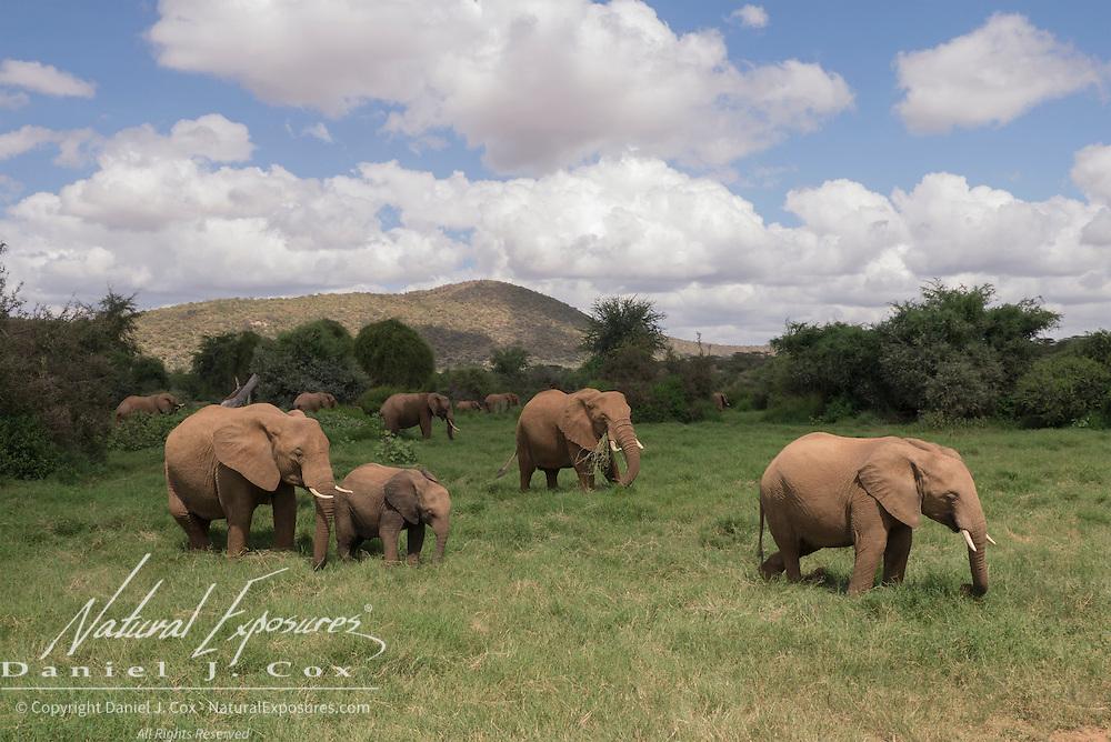 Elephant (Loxodonta africana) herd in Samburu National Reserve, Kenya, Africa.