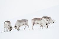 En liten gruppe svalbardrein på vinterbeite vest på Spitsbergen, Svalbard. Mars.
