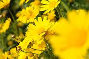 gelbe Frühlingsblumen Wiese, Israel.|.yellow spring flowers, Israel.