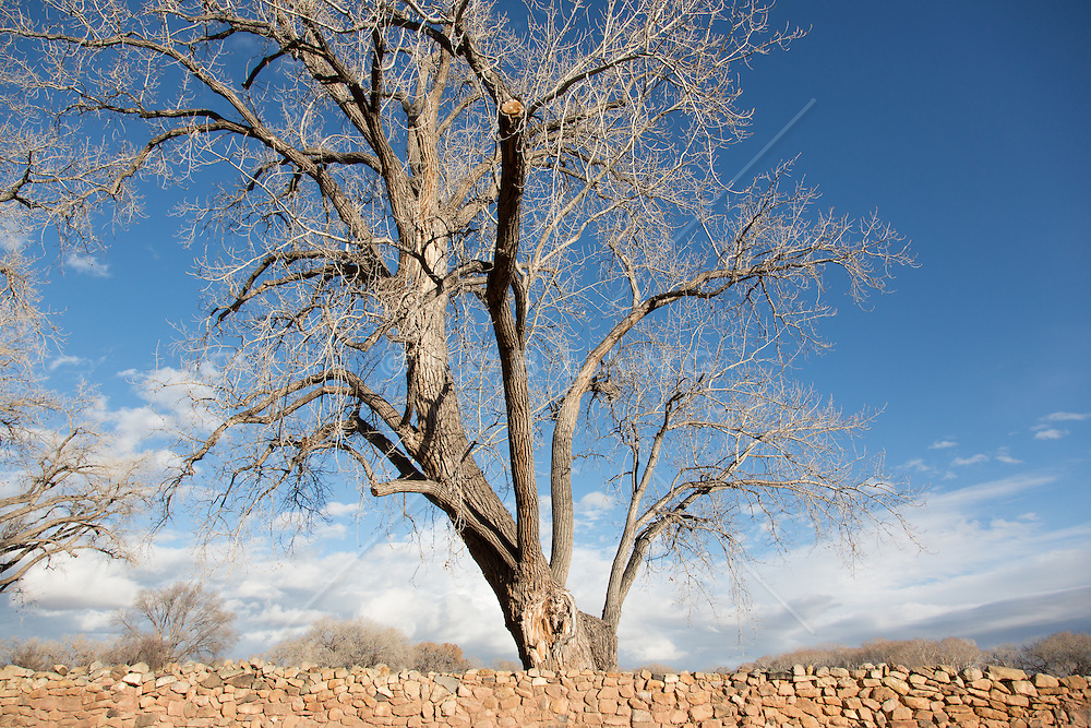 Cottonwood Tree behind a stone fence