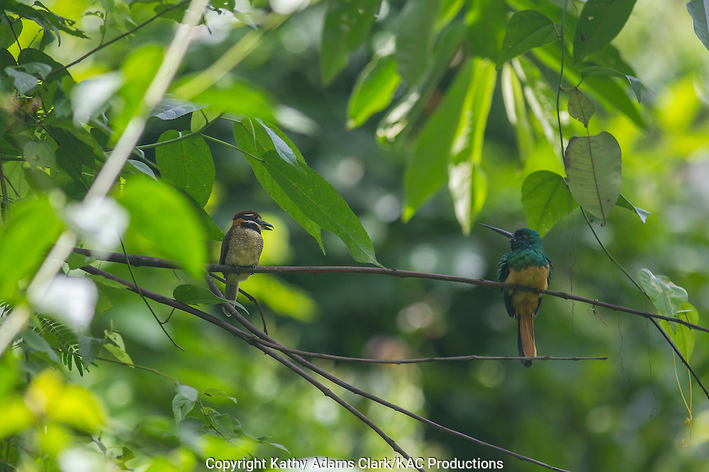 Chestnut-capped puffbird; Bucco macrodactylus; on a branch with a Bluish-fronted jacamar, Inkaterra Amazonia; Madre de Dios River; Peru; Reserva Ecologica Inkaterra