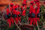 Sturt's Desert Pea, Broken Hill, western NSW, Australia